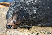 Close Up Portrait New Zealand Fur Seal, Arctocephalus Forsteri, Long-nosed Fur Seal Sleeping In The  poster