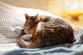 Tabby Cat Sleeping Happily On The Bed With White Blanket. Young Tricolor Kitty Cat Sleeping Blissful poster