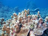 Colorful Coral Reef At The Bottom Of Tropical Sea, Pillar Coral, Underwater Landscape poster