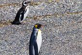 King Penguin On Martillo Island Beach, Ushuaia. Tierra Del Fuego National Park. Chilean Wildlife poster