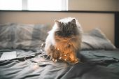 Fluffy Cute Gray Cat Sits On A Bed With A Garland And Plays. Portrait Of A Cat With Lights On A Bed  poster