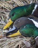 image of gadwall  - Two Drake Mallards and a Pintail taking while duck hunitng - JPG