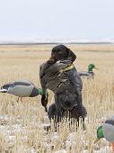 stock photo of gadwall  - Hunting Ducks in a field of wheat - JPG