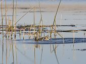 picture of gadwall  - Hen Mallard swimming in the bullrushes on a wetland - JPG