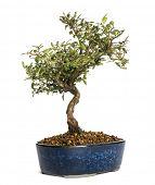 pic of honeysuckle  - Honeysuckle bonsai tree - JPG