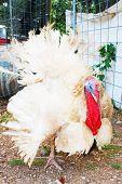 foto of turkey-cock  - Old ugly turkey - JPG