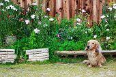 image of long hair dachshund  - Cute Blond Long haired Dachshund in flower garden - JPG