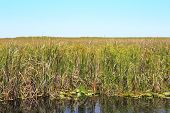picture of long distance  - Long distance landscape view of the Everglades wildlife area in Florida established in 1947 and its ecosystem of water grasses and reeds on a bright blue sky sunny spring day - JPG