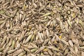 image of rotten  - Heap of moldy and rotten corns in farm - JPG