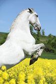 stock photo of lipizzaner  - Amazing white lipizzaner stallion prancing in spring - JPG
