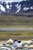 picture of tern  - Arctic Tern standing near her nest protecting her egg from predators