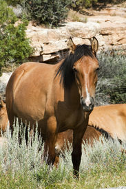 stock photo of open grazing area  - free roaming mustangs in the Pryor Mountain wild horse range in Wyoming - JPG