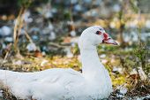 pic of crested duck  - Wonderful white duck in the village street