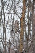 pic of snow owl  - Barred Owl sitting on a bare branch high up a tall tree - JPG