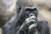 foto of face-fungus  - Portrait of a gorilla male - JPG