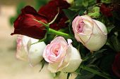 image of rose  - Roses - JPG