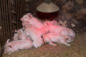 stock photo of piglet  - Little piglets suckling their mother - JPG