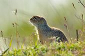 picture of prairie  - prairie dog on field in summer - JPG