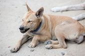 picture of dog teeth  - angry dog with bared teeth in Thailand - JPG