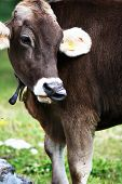 stock photo of long tongue  - A beautiful cow show her long tongue - JPG