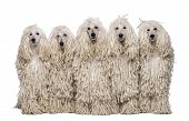 foto of standard poodle  - Five White Corded standard Poodles sitting in front of white background - JPG