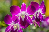 pic of orquidea  - A branch of pink orchid orchid in the garden - JPG