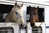 picture of brahma-bull  - Horses waiting to depart after a rodeo - JPG