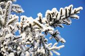 pic of fulcrum  - firtree tree branch in winter snow hoarfrost