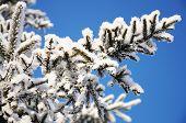 stock photo of fulcrum  - firtree tree branch in winter snow hoarfrost  - JPG