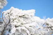 stock photo of fulcrum  - firtree branch in winter snow hoarfrost on blue background - JPG