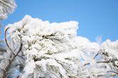 foto of fulcrum  - firtree branch in winter snow hoarfrost on blue background - JPG