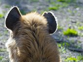 picture of hyenas  - A spotted hyena  - JPG