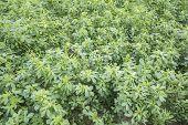 picture of alfalfa  - Medicago sativa  - JPG