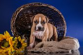 pic of american staffordshire terrier  - Puppy American Staffordshire Terrier studio portrait dog on a color background - JPG