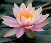 image of hydrophytes  - The big flower of a lotus in a natural reservoir - JPG