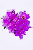 picture of azalea  - A bouquet of red azalea flowers under the background of a white heart - JPG