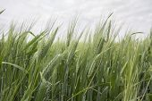 picture of spike  - Spikes of green wheat in spring - JPG