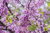 picture of judas tree  - Judas tree flower (Cercis siliquastrum), sunny day.