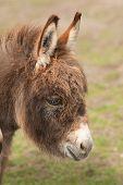 image of donkey  - photo portrait of a cute little donkey - JPG