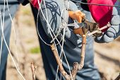 pic of prunes  - Gardener with a sharp pruner making a grape pruning  - JPG
