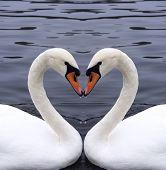 Постер, плакат: Лебеди сердце