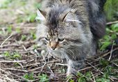pic of mimicry  - not purebred cat outdoors - JPG