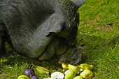 picture of pot bellied pig  - hungry pot bellied pig - JPG