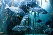 pic of algae  - Big fish swimming in a illuminate tank with algae at the aquarium - JPG