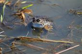 stock photo of vegetation  - A frog semi submerged in water - JPG