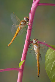 stock photo of pokeweed  - Two dragonflies are both hanging on to the same pokeweed stem - JPG
