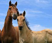 Attentive quarter horses pic.