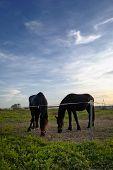 foto of black horse  - Two blacks horses grazing at dusk - JPG