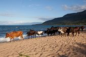 picture of hollow log  - Lake malawi with cattle - JPG