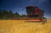 red combine working in a wheat field